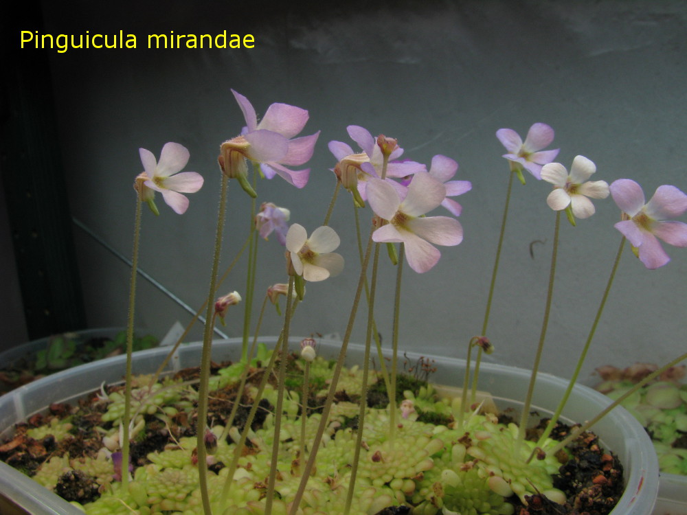 mirandae1.jpg