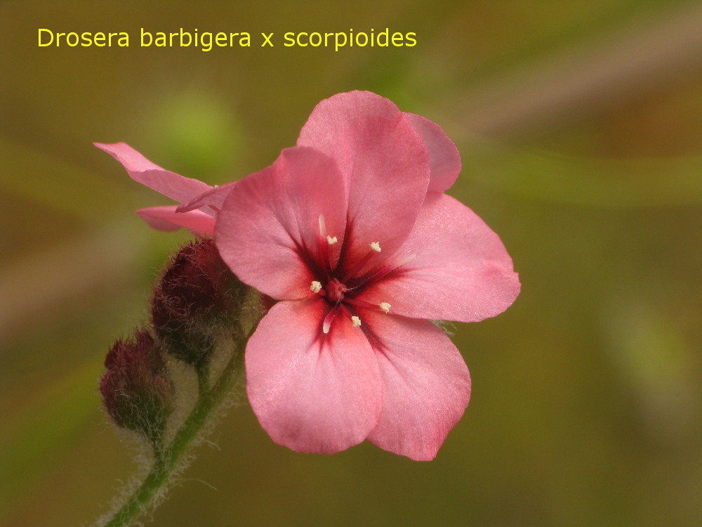 barb_x_scorp3.jpg