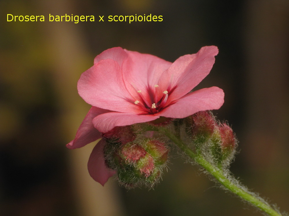 barb_x_scorp4.jpg