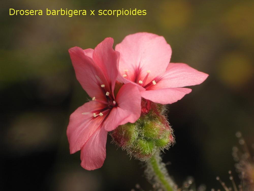 barb_x_scorp6.jpg